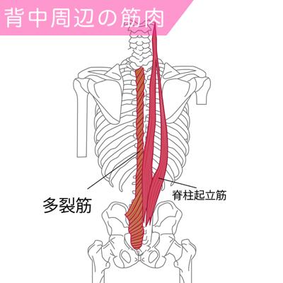 脊柱起立筋と多裂筋